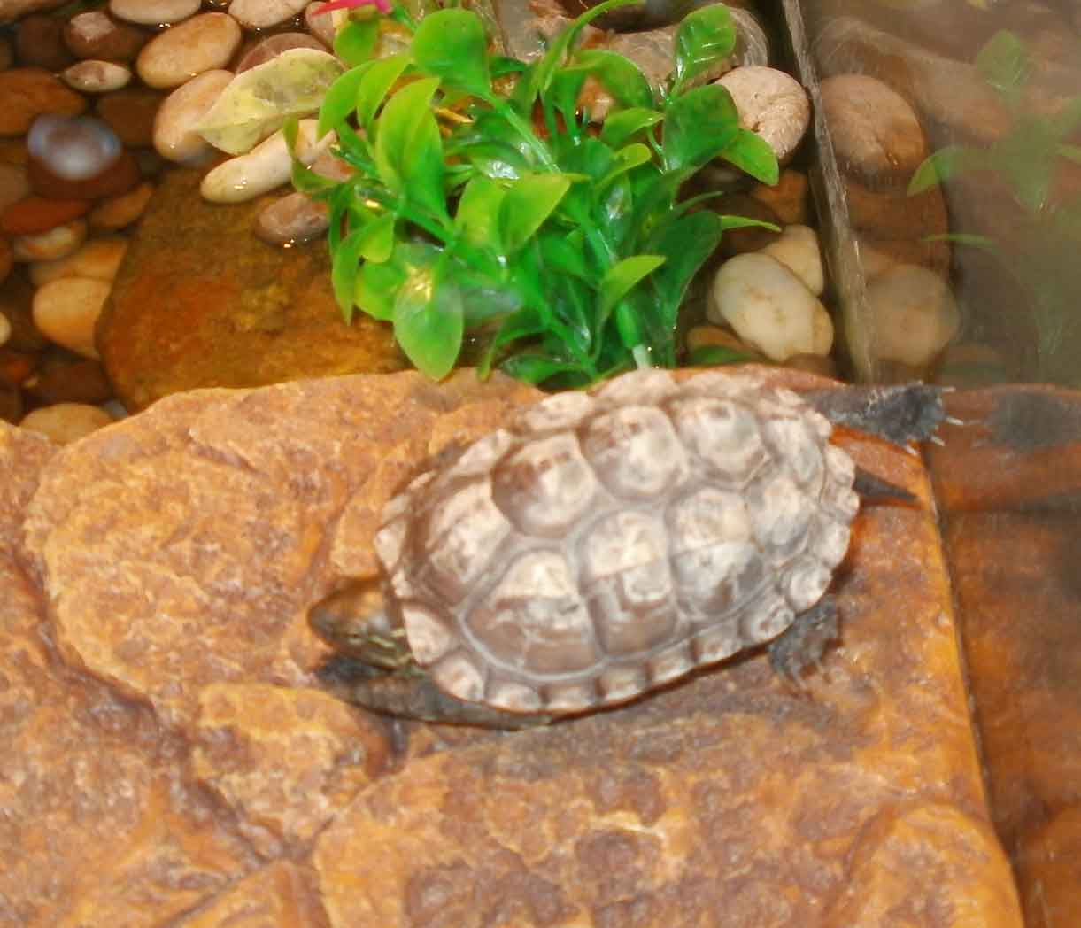 About Owing A Pet Turtle Persona Paper
