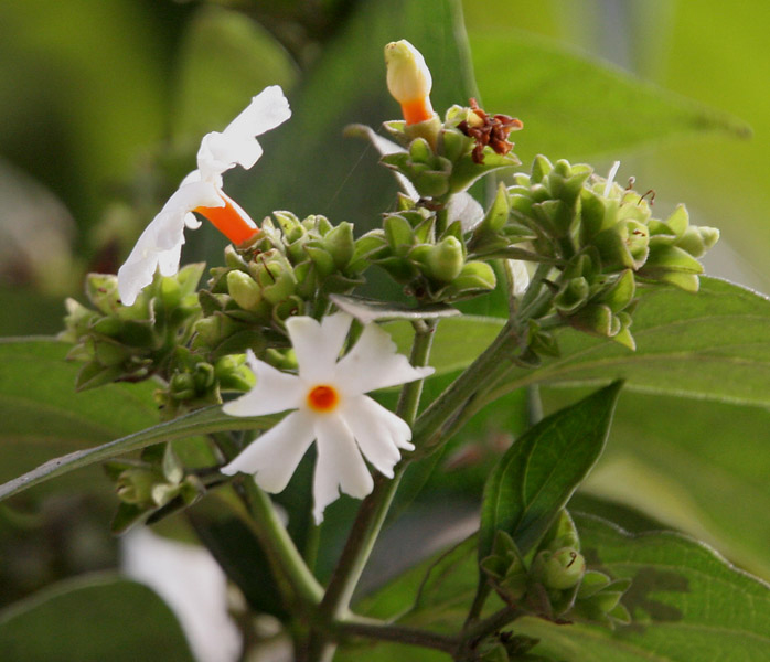 Fragrance of Coral Jasmine  - Persona Paper